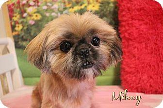 Shih Tzu Dog for adoption in Benton, Louisiana - Mikey