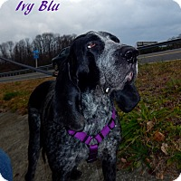 Bluetick Coonhound Mix Dog for adoption in Washington, Pennsylvania - Ivy Blu