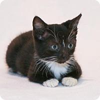Adopt A Pet :: Catpuccino - Spring, TX