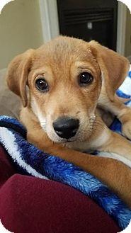 Shepherd (Unknown Type)/Sheltie, Shetland Sheepdog Mix Puppy for adoption in Raleigh, North Carolina - Abraham