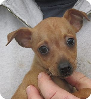 Chihuahua Mix Puppy for adoption in Germantown, Maryland - Kansas