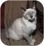 Siamese Kitten for adoption in Cleveland, Ohio - Ceyan