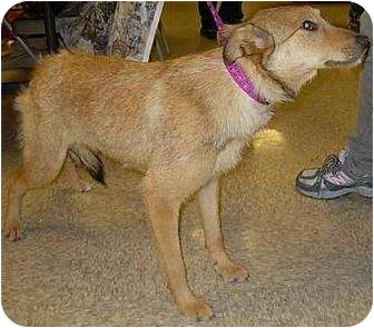 Wirehaired Fox Terrier/Shepherd (Unknown Type) Mix Dog for adoption in Lucerne Valley, California - 3 young adult dogs
