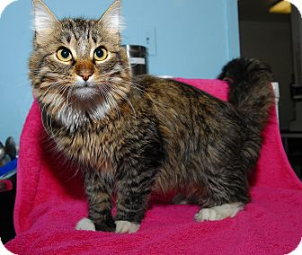 Domestic Longhair Cat for adoption in New York, New York - Parker