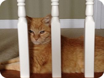 Domestic Mediumhair Cat for adoption in Waxhaw, North Carolina - Goldie