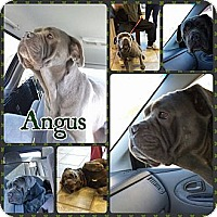 Adopt A Pet :: Angus - bridgeport, CT