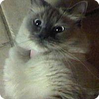 Adopt A Pet :: Ayira - Davis, CA