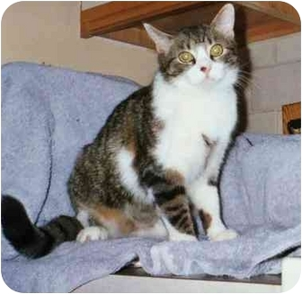 Domestic Shorthair Cat for adoption in Bedford, Massachusetts - Miranda