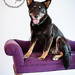 Photo 4 - German Shepherd Dog Mix Dog for adoption in Independence, Missouri - Janey *CL*