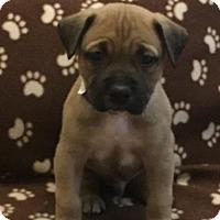 Adopt A Pet :: Pug - Royal Palm Beach, FL