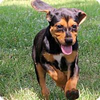 Adopt A Pet :: Katie - Glastonbury, CT