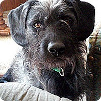Standard Schnauzer/Terrier (Unknown Type, Medium) Mix Dog for adoption in Incline Village, Nevada - Ernie