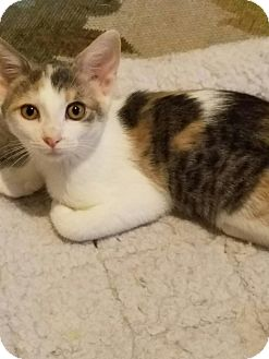 Domestic Shorthair Kitten for adoption in Chandler, Arizona - Danica