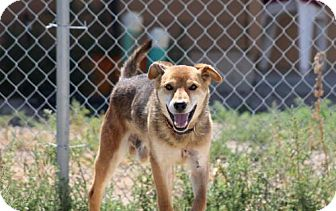 German Shepherd Dog Mix Dog for adoption in Lander, Wyoming - Joey