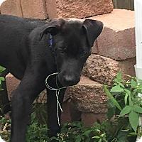 Adopt A Pet :: Chutney aka Midnight-Adopted! - Detroit, MI