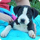 Adopt A Pet :: Koda (7 lb) Video!