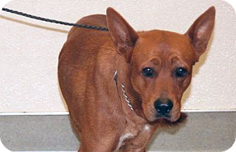 Jindo Mix Dog for adoption in Wildomar, California - Sean