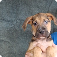 German Shepherd Dog/Boxer Mix Puppy for adoption in Oviedo, Florida - Mikey