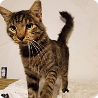 Maine Coon Cat for adoption in Spring, Texas - Buddy Boy