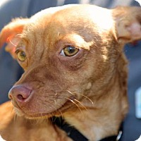 Adopt A Pet :: Milo - Palm Springs, CA