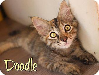 Domestic Mediumhair Kitten for adoption in Benton, Louisiana - Doodle