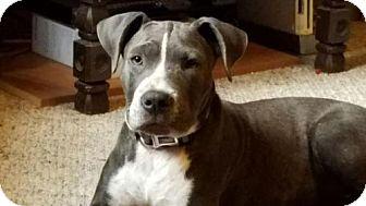 American Pit Bull Terrier Mix Dog for adoption in Fulton, Missouri - Hendrix - Alabama