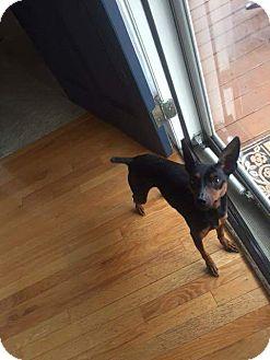 Miniature Pinscher Mix Dog for adoption in benson, North Carolina - Rocky