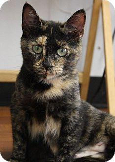 Domestic Shorthair Cat for adoption in Joplin, Missouri - Reeses