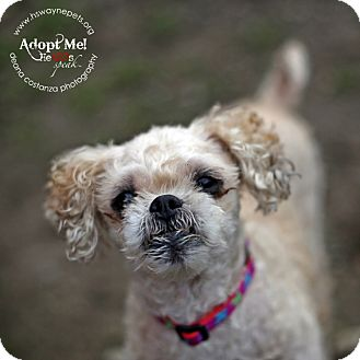 Poodle (Toy or Tea Cup)/Pekingese Mix Dog for adoption in Lyons, New York - Mitzie