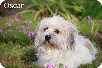 Havanese Mix Dog for adoption in Albany, New York - Oscar