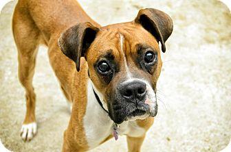 Boxer Dog for adoption in Lancaster, Pennsylvania - Rylan Martin