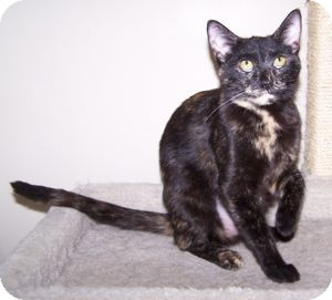 Domestic Shorthair Cat for adoption in Colorado Springs, Colorado - Precious
