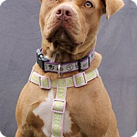 Adopt A Pet :: Lady - Redondo Beach, CA
