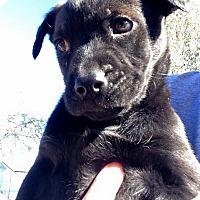 Adopt A Pet :: Brianna - Cave Creek, AZ