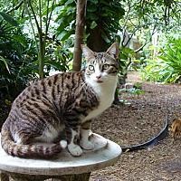 Domestic Shorthair Cat for adoption in Naples, Florida - Beaker