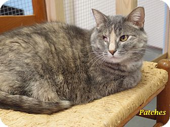 Domestic Shorthair Cat for adoption in Chisholm, Minnesota - Patches