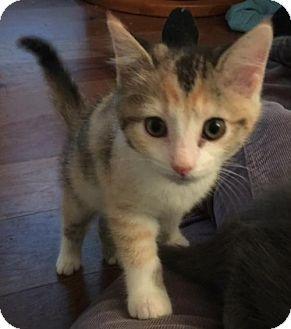 Domestic Shorthair Kitten for adoption in Columbus, Indiana - Hai