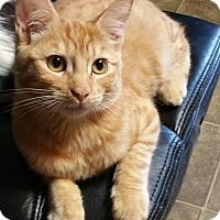 Domestic Shorthair Kitten for adoption in Los Angeles, California - Kat