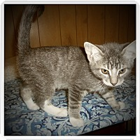 Domestic Shorthair Kitten for adoption in Medford, Wisconsin - ASHTON