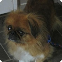 Pekingese Dog for adoption in Oakdale, Tennessee - Chica Maria