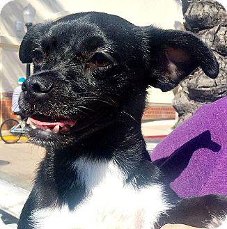 Pug/Dachshund Mix Puppy for adoption in Rancho Cucamonga, California - Batman