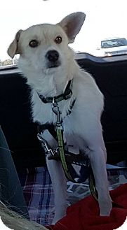 Wirehaired Fox Terrier/American Eskimo Dog Mix Dog for adoption in Flemington, New Jersey - Coby