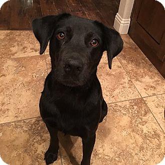 Labrador Retriever Dog for adoption in Austin, Texas - Maggie Mae