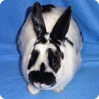 Adopt A Pet :: Capri - Woburn, MA