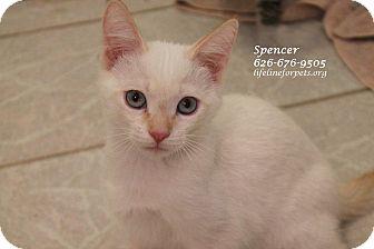 Siamese Kitten for adoption in Monrovia, California - A Kitten Boy: SPENCER