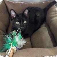 Adopt A Pet :: Bagheera - Montgomery City, MO