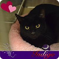 Adopt A Pet :: Indigo - Washington, PA