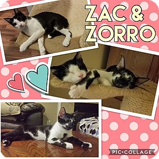 Manx Kitten for adoption in Keller, Texas - Zak