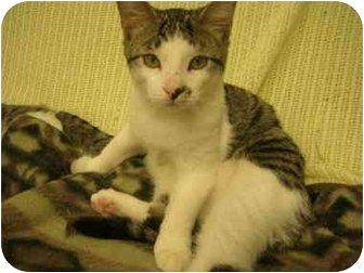 Domestic Shorthair Kitten for adoption in Windsor, Ontario - Smudge