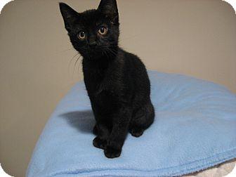 Domestic Shorthair Kitten for adoption in Eagan, Minnesota - Austin
